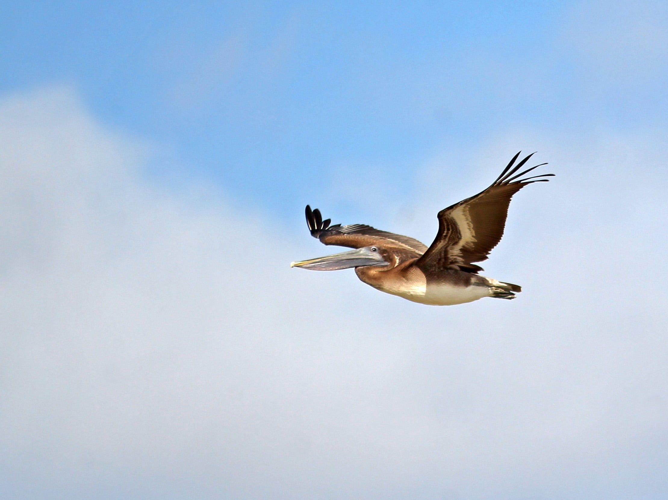 A closeup of a brown pelican.