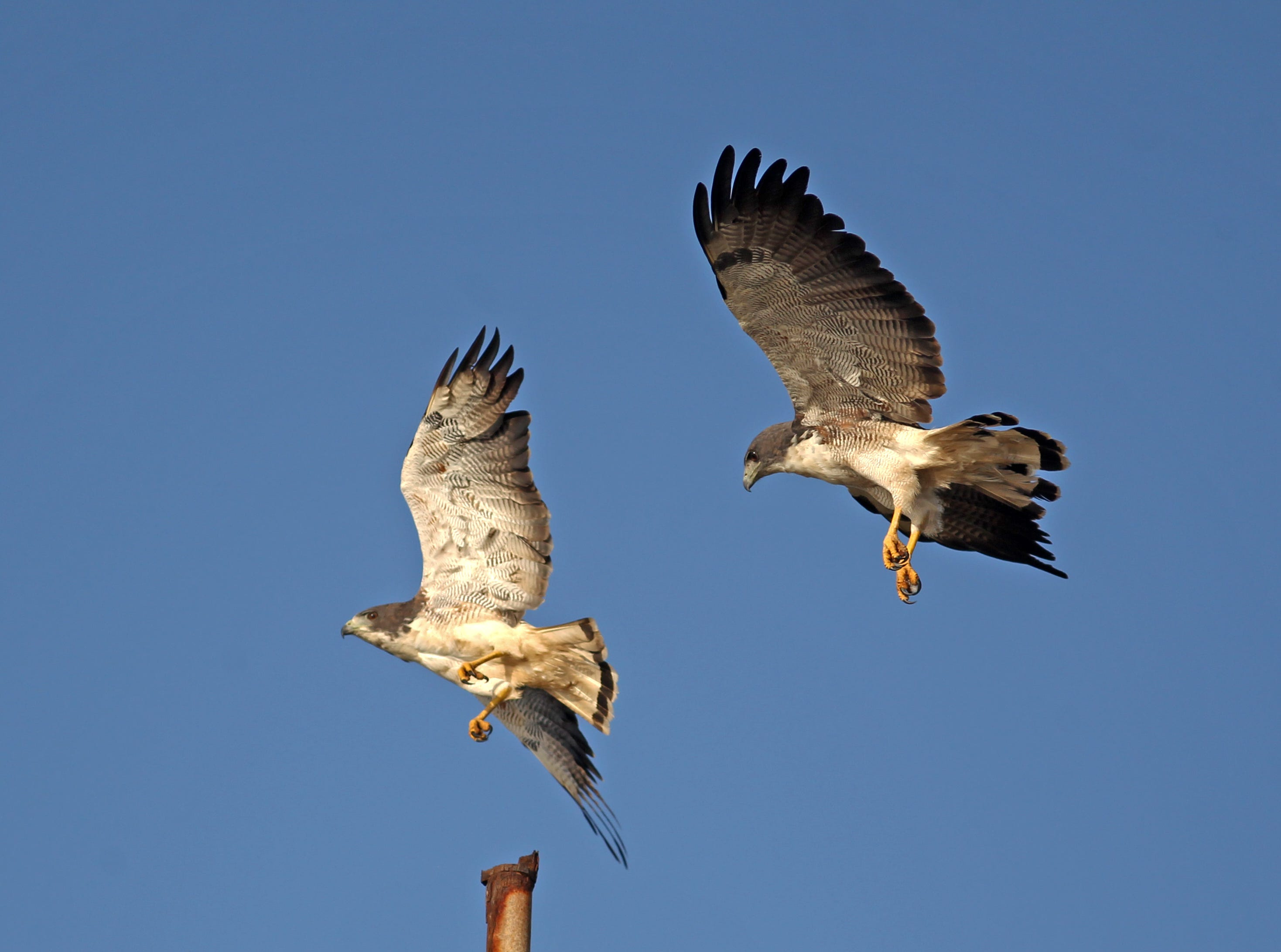 This is a pair of white-tailed hawks near the 30-mile marker on Padre Island National Seashore, which boasts nearly 400 bird species.