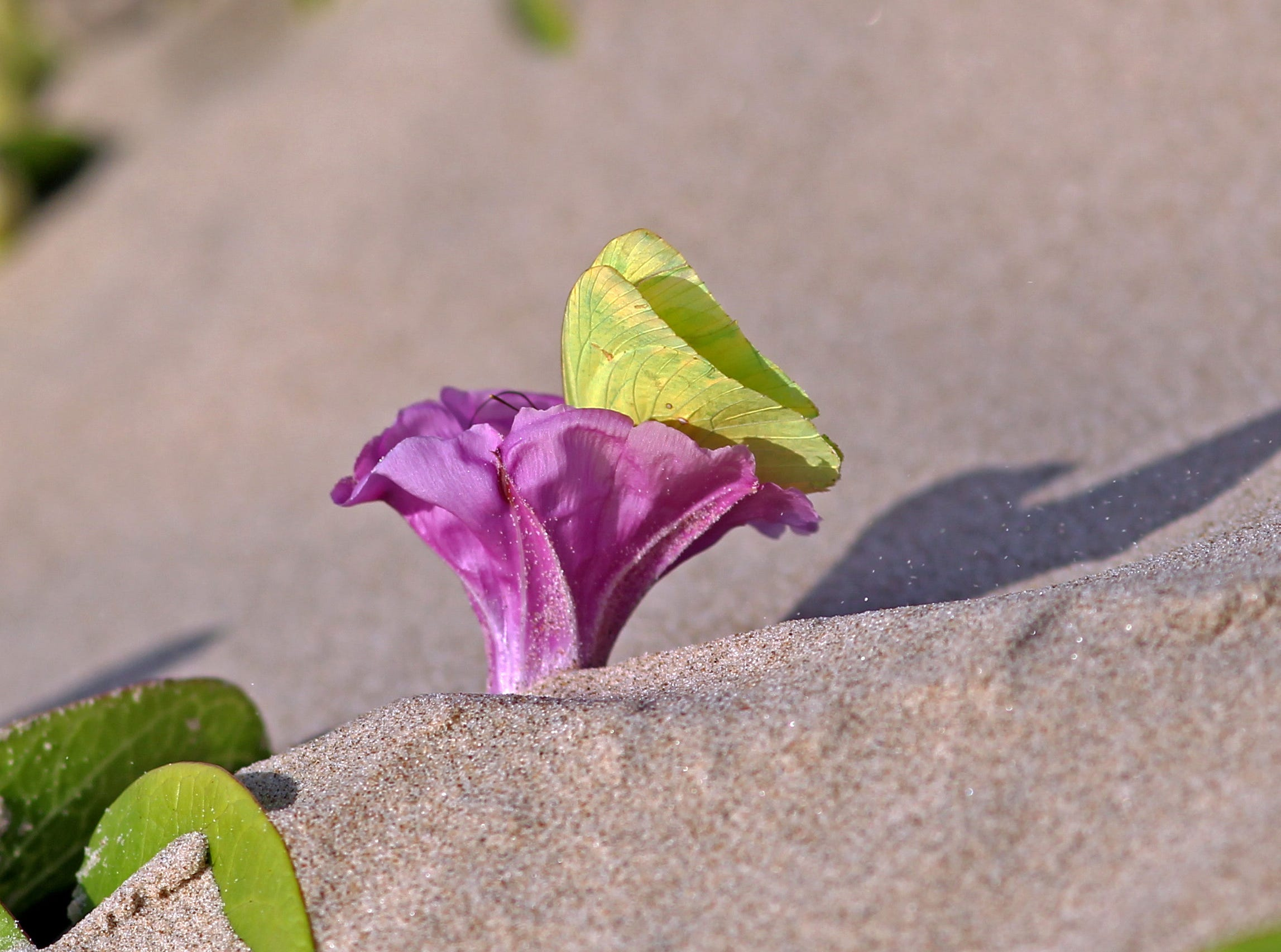 This a cloudless sulphur butterfly on a morning glory flower, which blooms on the railroad vines in the dunes of Padre Island National Seashore.