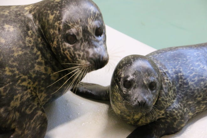 The Blank Park Zoo has a new harbor seal pup, born early August to first-time parents Meru and Ross.