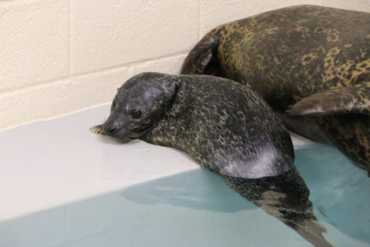The seal pup has now journeyedoutside to the Hub Harbor Seal and Sea Lion Pool to swimwith his parents several times, the zoo said.