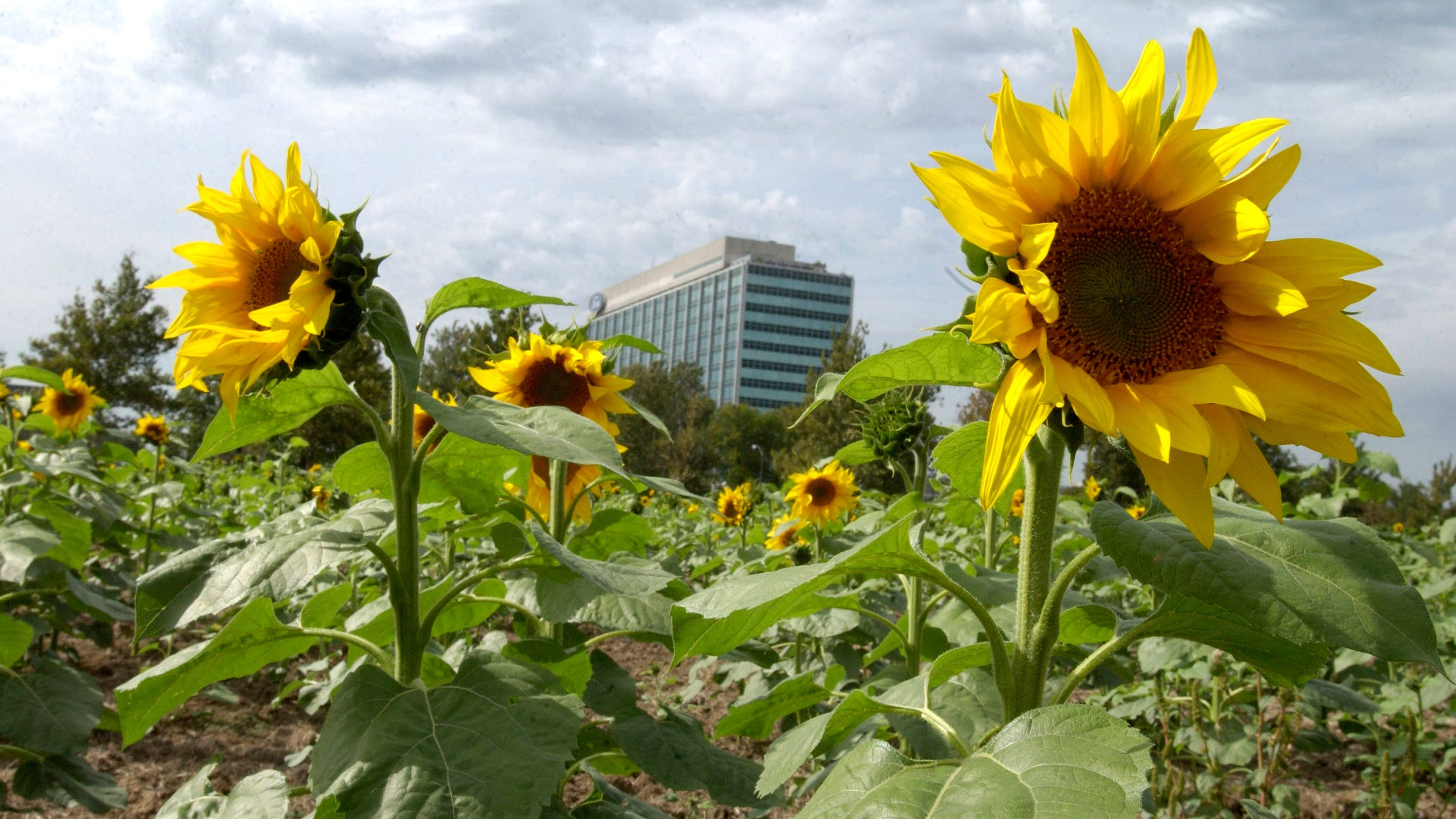 bill ford s tie to puerto rico visible through sunflowers