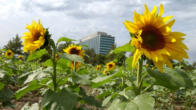 Sunflowers bloom near the Ford World Headquarters on Michigan Avenue and Mercury Drive in Dearborn in September 2003