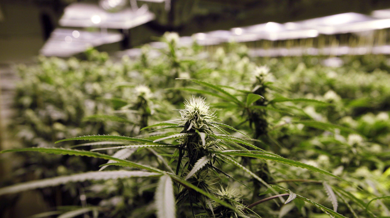 Finding seeds to grow marijuana in Michigan will be hard