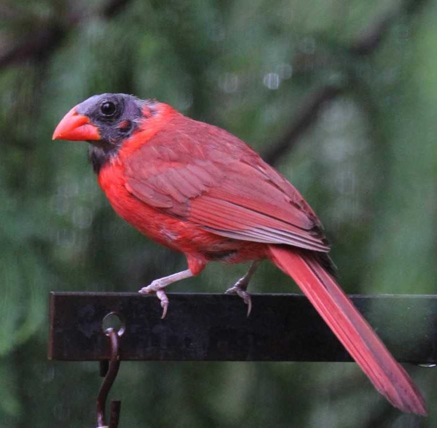 For the Birds: How do cardinals get 'black' heads?