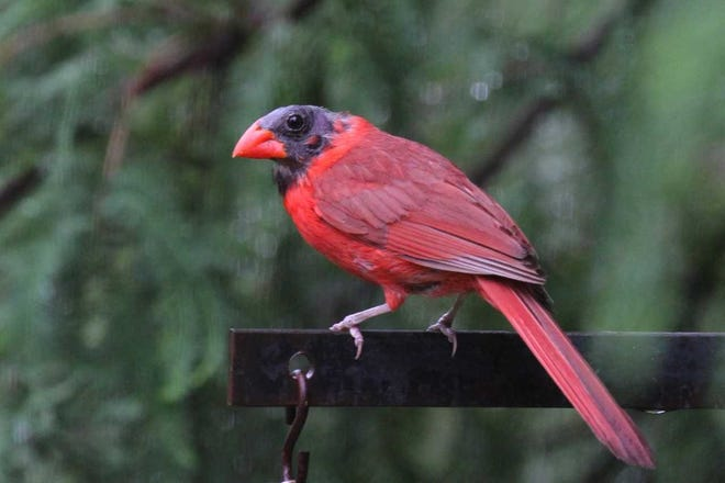 What's the story behind the black-headed cardinals that have made appearances throughout the Tri-State?