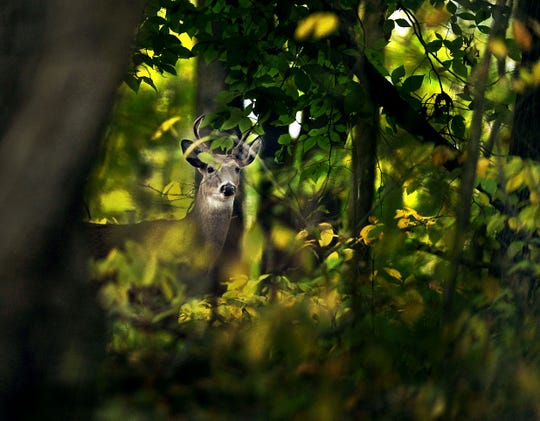 An antlered deer is wary as he peers out from the woods at Eagle Creek Park Wednesday October 23, 2013.