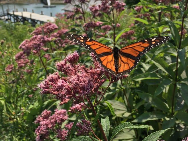 Joe Pye Weed attracts a wide range of pollinators to the summer garden