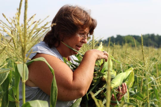 Vicki Noggle walks to her car with a collection of sweet corn on Wednesday. She said those ears of corn would make it into the hands of families served by the Johnson/Rudd Community Food Pantry that afternoon.