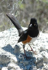 The eastern towhee was one of the 496 species spotted and identified.