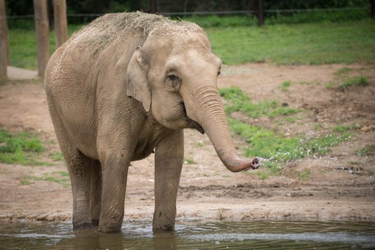 Asian Elephant Phoebe