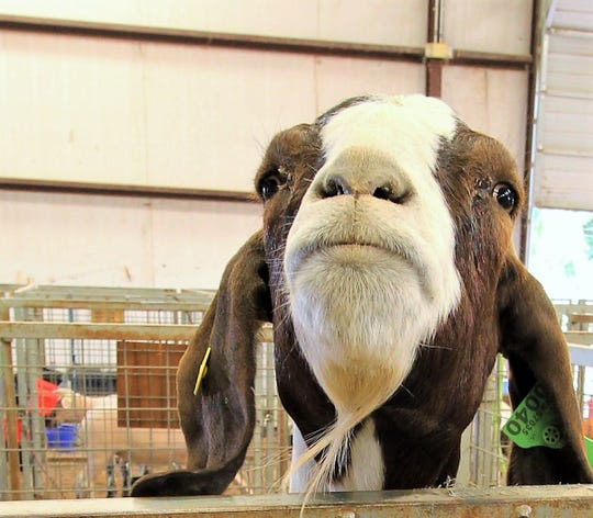 Levy the goat jumps up on the fence to say hi to people passing by at the 2018 Lincoln County Fair.