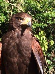 Bomber the falcon