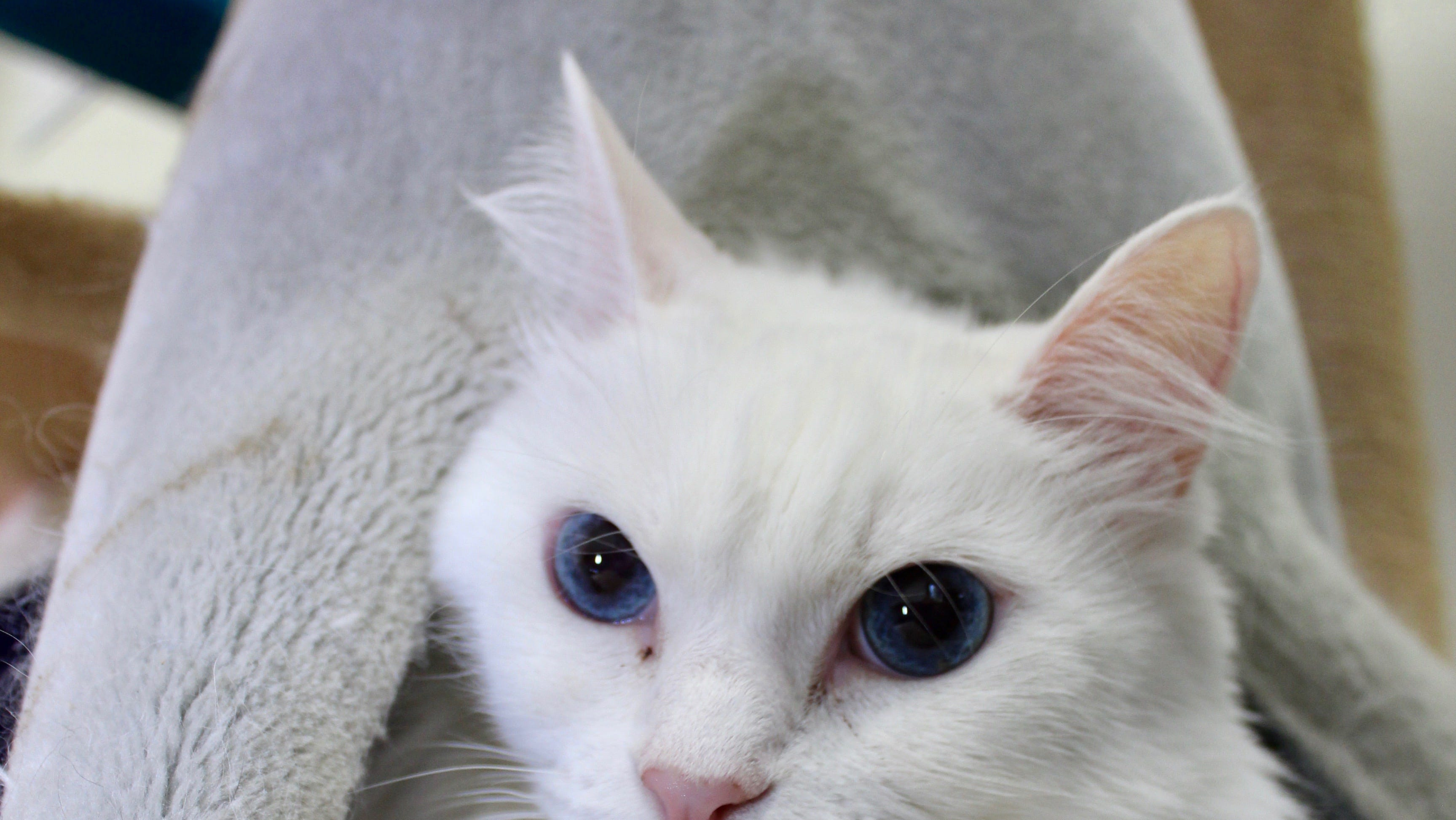 Bella, a 10-year-old Angora mix female. Lived most of her life in a quiet home, ready to meet new friends who can take a slow and gentle approach. Described as mellow and loves being brushed. Living well with other kitties in a shared cat suite.