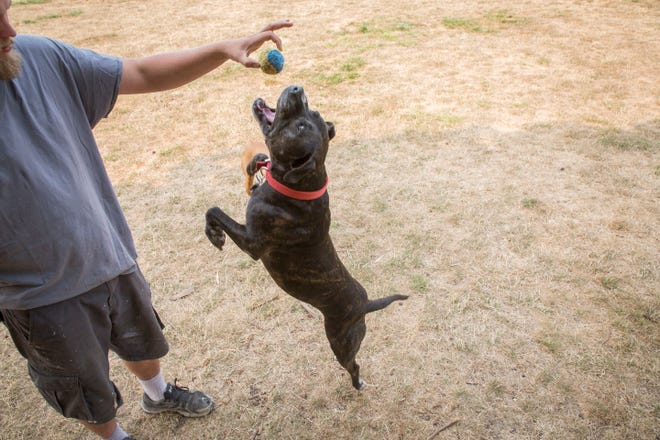 T-Money, 13 year-old pit bull breed, jumps for the ball held by Robert Lyth, of Salem in the dog park at Minto-Brown Island Park Tuesday August 15, 2018. Despite the air quality, Lyth brings his dogs to parks in and around the area so they can get the exercise they need.