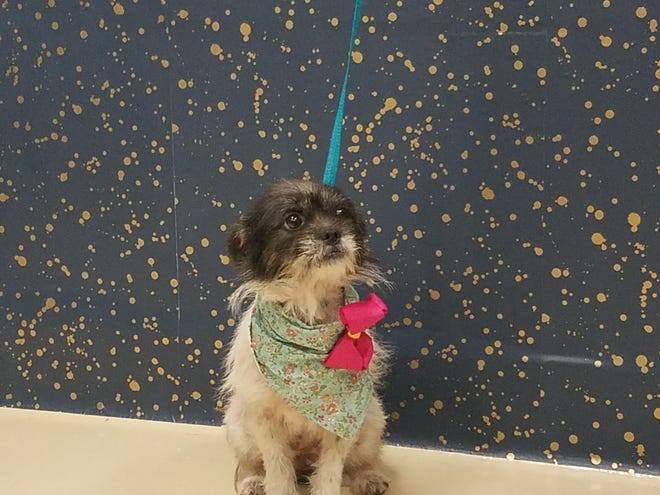 Hewgood awaits a treat during her photo session at the San Angelo shelter.