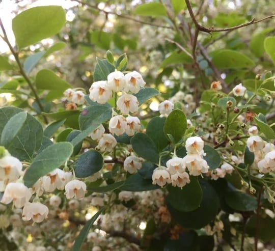 Sparkleberry lights up the landscape with numerous bell-shaped flowers.