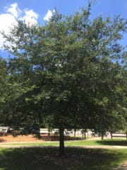 Live oak will quickly grow into a stately tree.