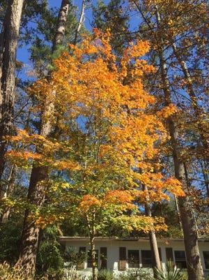 Chalk maple's vibrant fall colors.