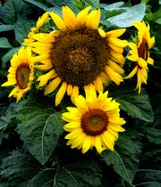 Sunflowers act as trap plants for insects, keeping them away from vegetables.