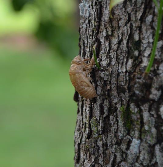 Cicada Td 8 18