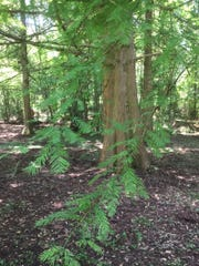Lacy needles of the bald cypress.