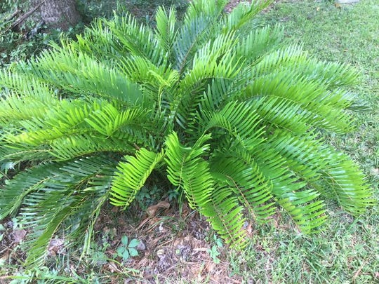 The hardy coontie is at home in most gardens.