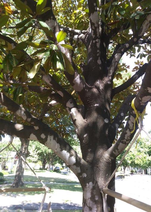 8 13 18 Magnolia With Lichens