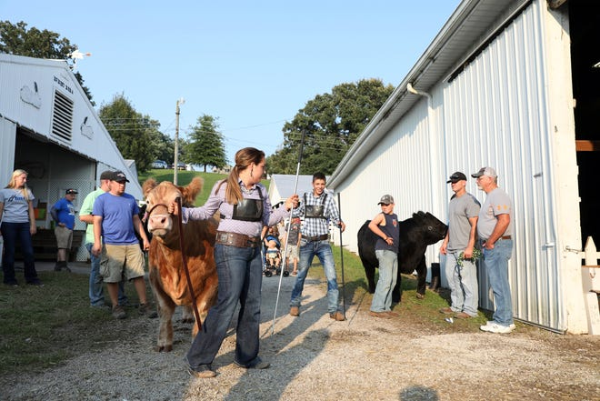 4-H members are shown preparing for the 2019 Junior Fair Steer Judging in this TR file photo. The Muskingum County Fair Board voted on Monday evening in favor of holding a complete fair in August. Many fairs around the state have been canceled or altered due to the COVID-19 pandemic.