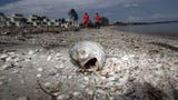The naturally occurring phenomenon has already killed manatees,  sea turtles and millions of pounds of fish.