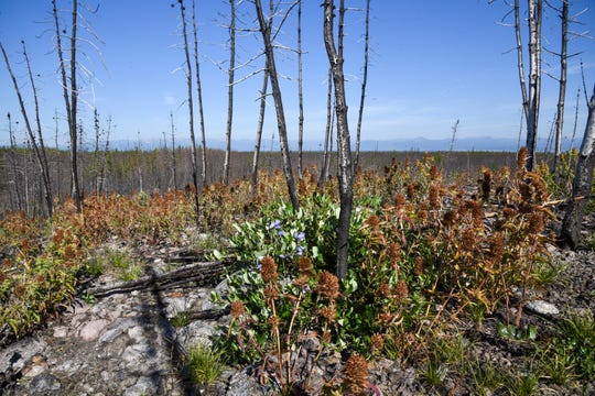Mint grows July 22, 2018, at the base of a charred group of lodgepole pines that burned in the 2016 Maple fire in Yellowstone National Park.