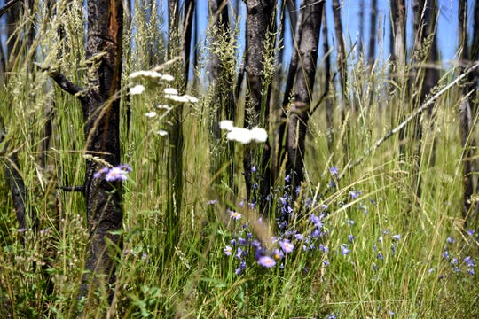 Wildflowers and grass grow thick beneath a charred group of lodgepole pines that burned in the 2016 Maple fire in Yellowstone National Park on July 22, 2018.