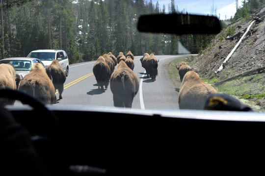 "A herd of bison create a ""bison jam"" in Yellowstone National Park in May 2012."