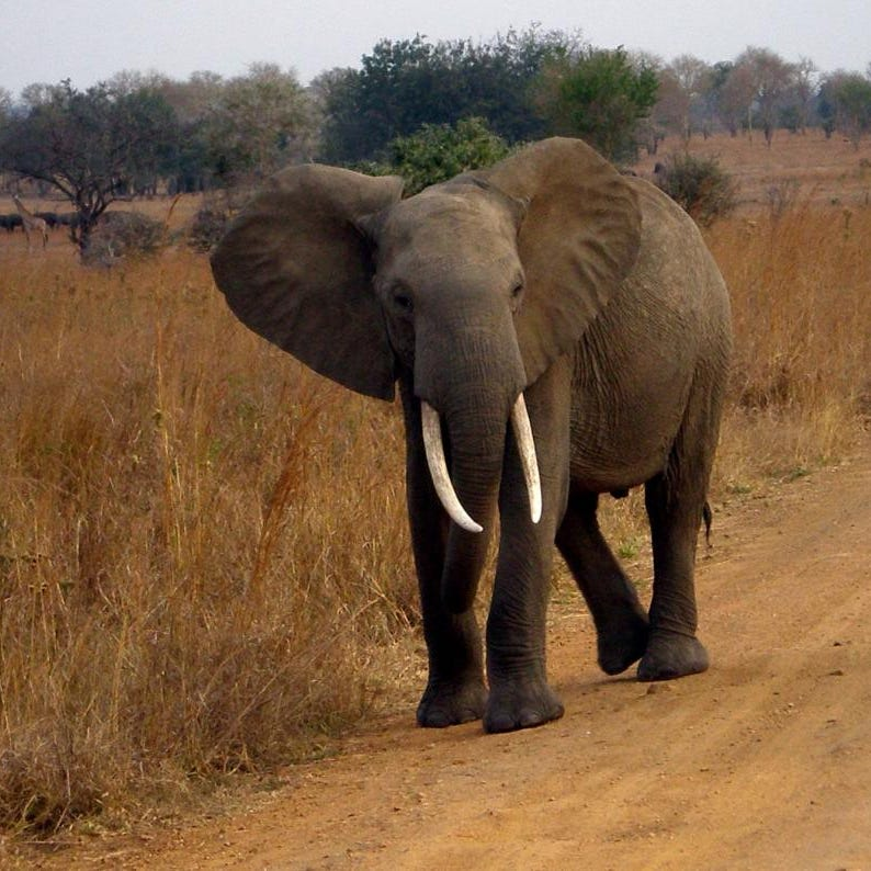 Elephants rarely get cancer thanks to 'zombie gene,' study finds