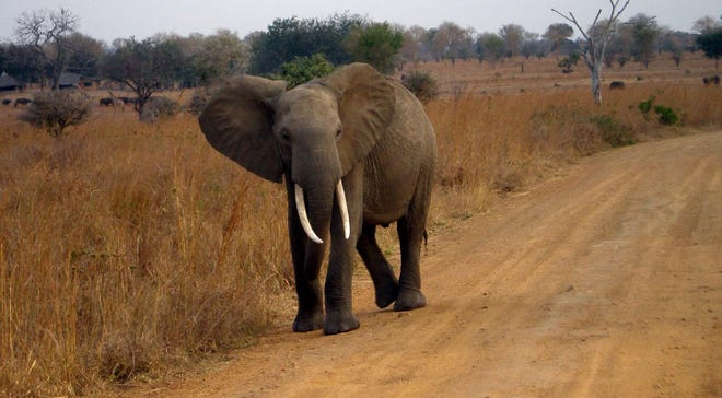 A healthy African elephant in Tanzania.