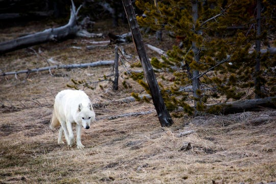 A white wolf walks in Yellowstone National Park on April 6, 2016.