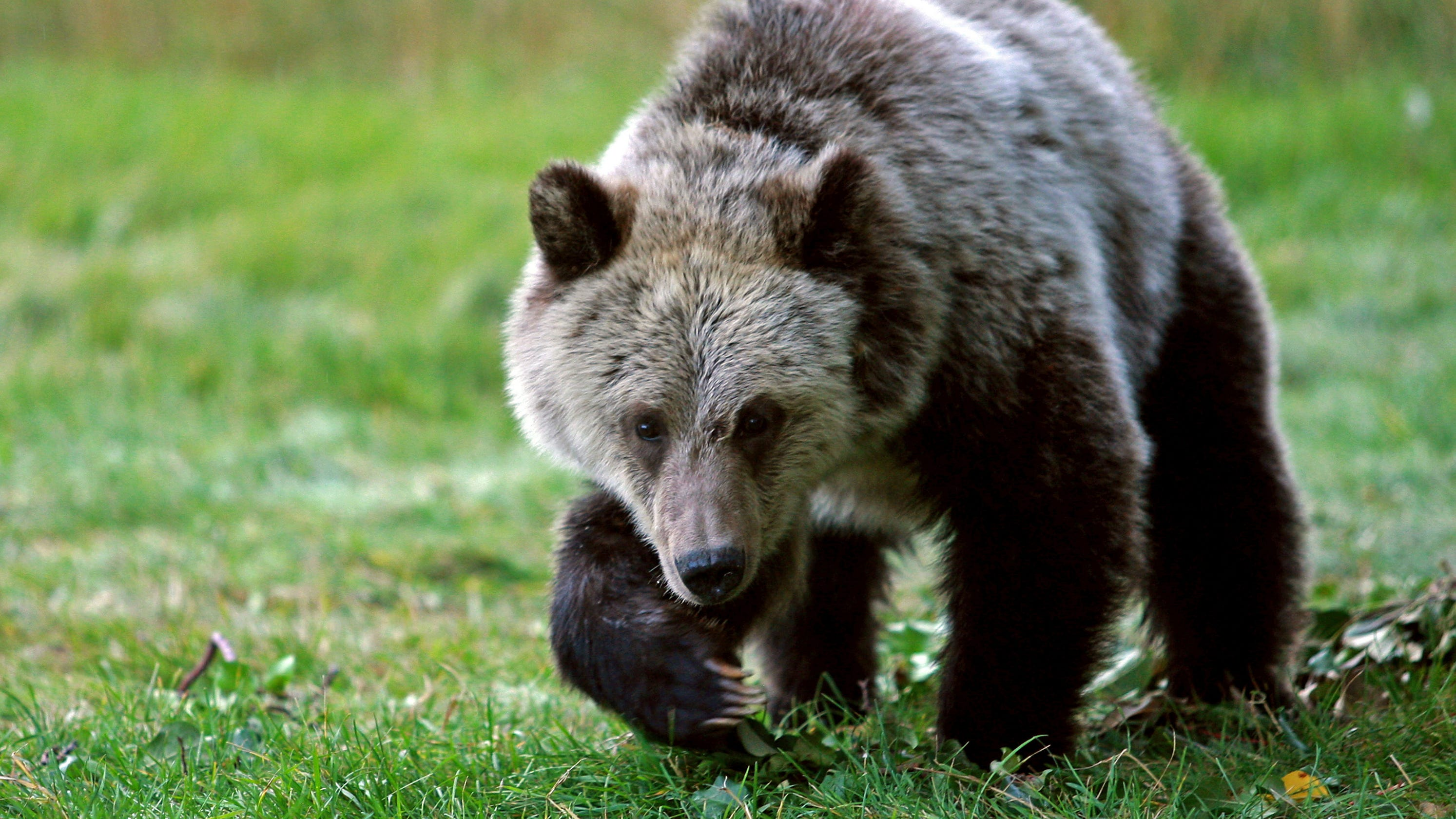Yellowstone Bear Attack Mother Grizzly Charges Chases 10 Year Old