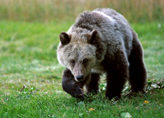 A grizzly bear cub forages for food a few miles from the north entrance to Yellowstone National Park in Gardiner, Montana, on Sept. 25, 2013.