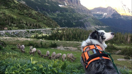 Gracie, a 4-year-old border collie, shepherds bighorn sheep a safe distance away from the Logan Pass parking lot in Glacier National Park.
