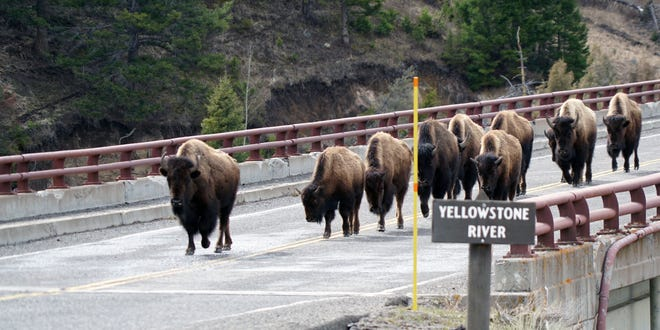 A herd of bison crosses a bridge at Yellowstone National Park in March 2017. The free-ranging herds often cause minor traffic delays for park visitors who find their vehicles temporarily surrounded.