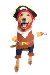 Your dog can be ready for National Talk Like a Pirate Day on Sept. 19.