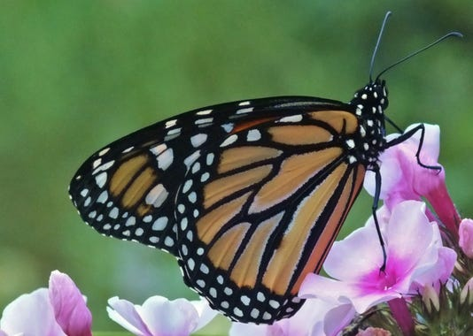 'The Magical Mysterious Monarch' PHOTO CAPTION