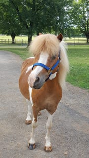 JJ, Lord Stirling Stable's newest pony, will greet guests at the Pony Tea Party at 10 a.m. on Sunday, Aug.19.