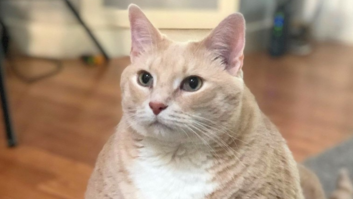 Fat Grand Rapids Cat S Called A Real Life Garfield