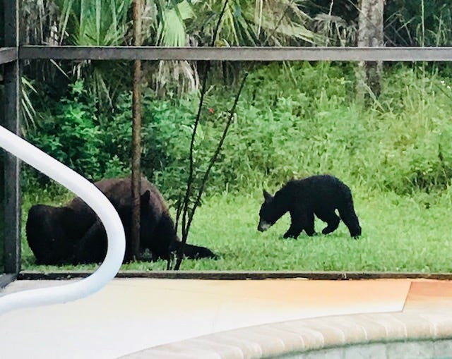 This August 13, 2018 photo was taken from a Golden Gate backyard. For nine years, the homeowner has seen bears passing through.