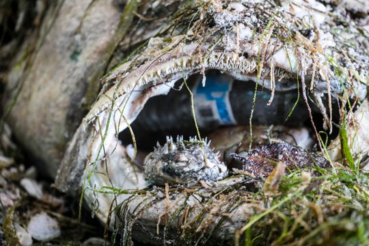 A small pufferfish rests in the mouth of a giant grouper. A water bottle rests in the back of it's mouth. These two fish were cleaned off of Sanibel Island earlier this year, when conditions were at their worst.