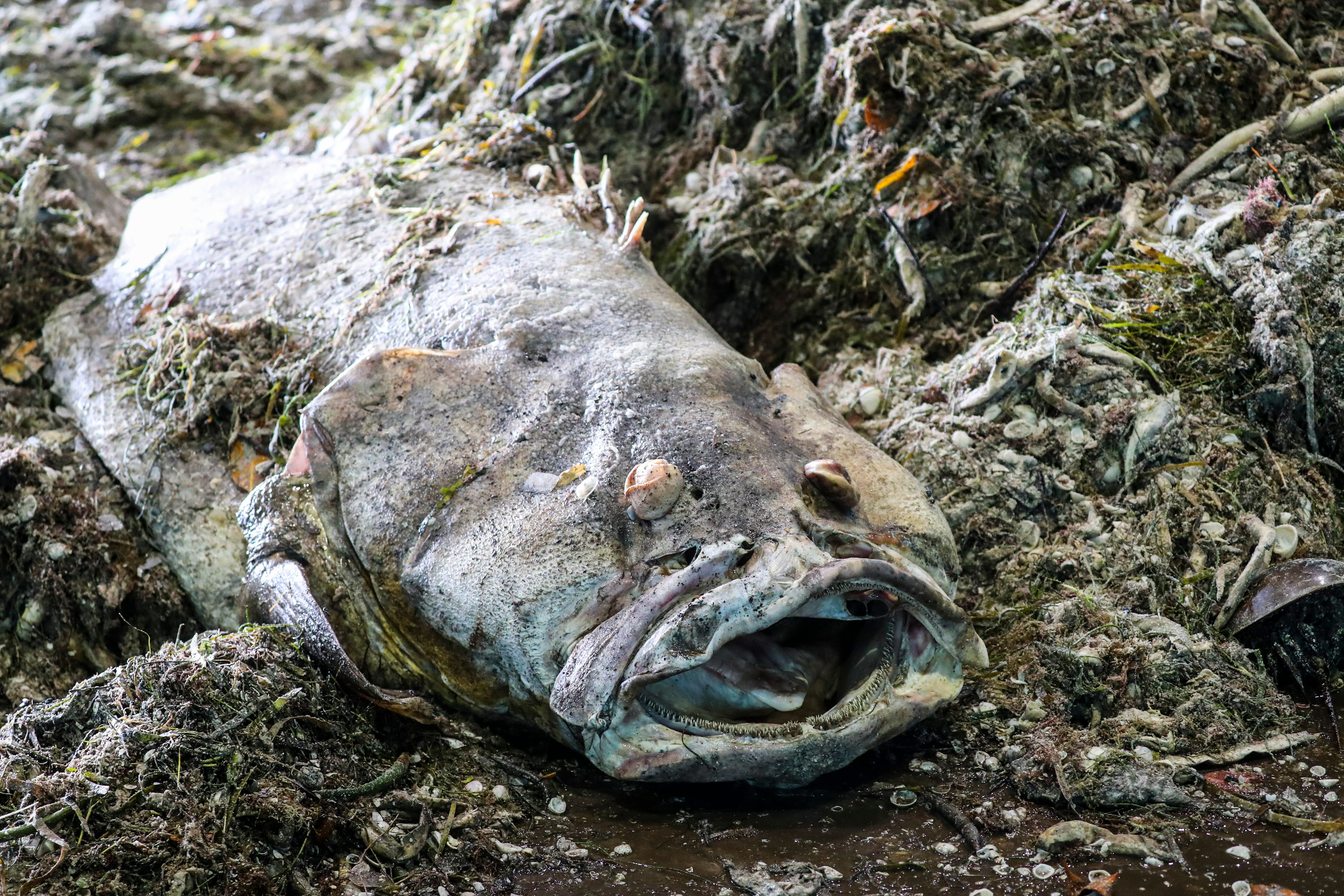 A fish that causes horror