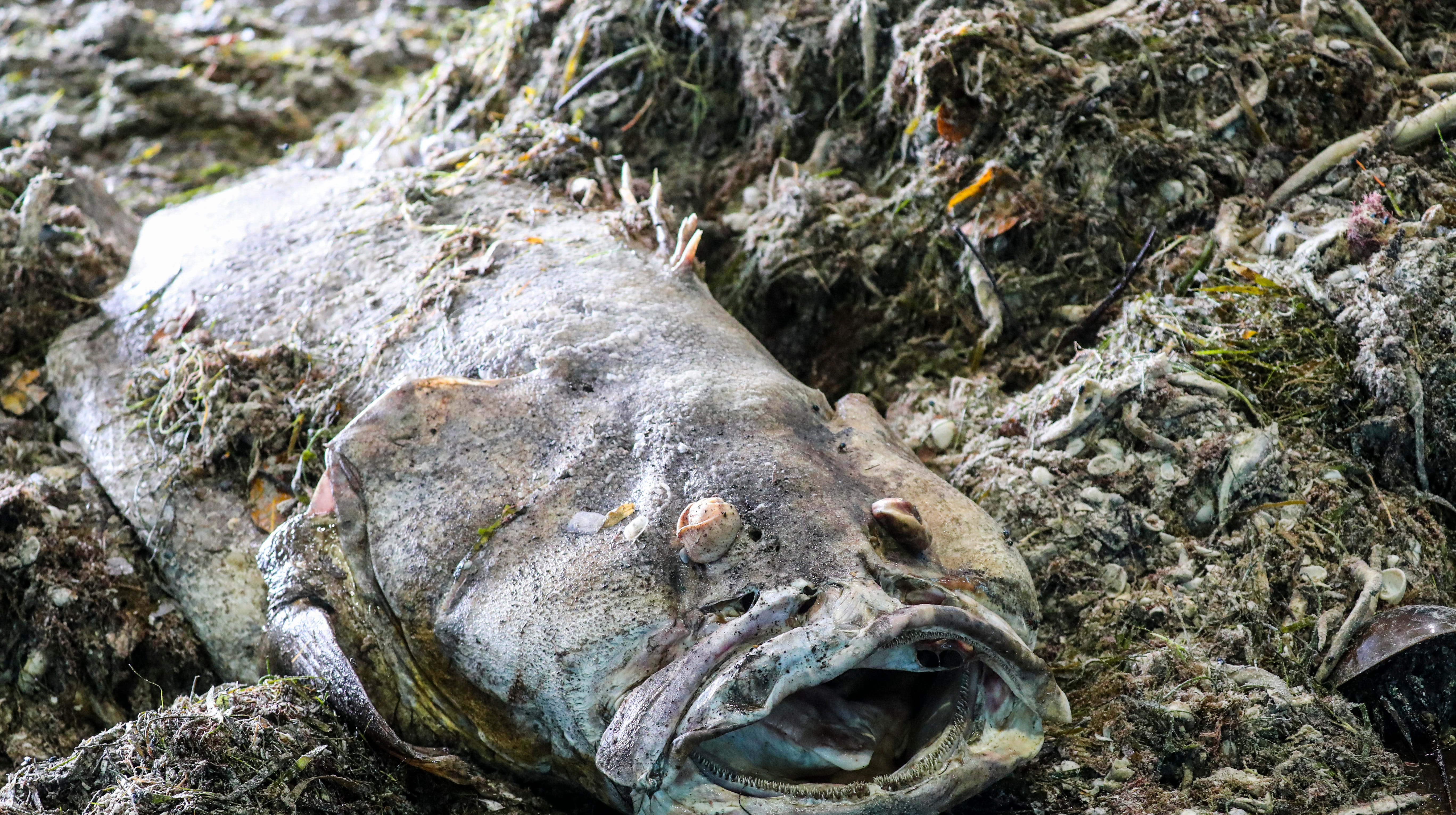 Florida algae crisis: Millions of pounds of fish, sea life burned at solid waste facility