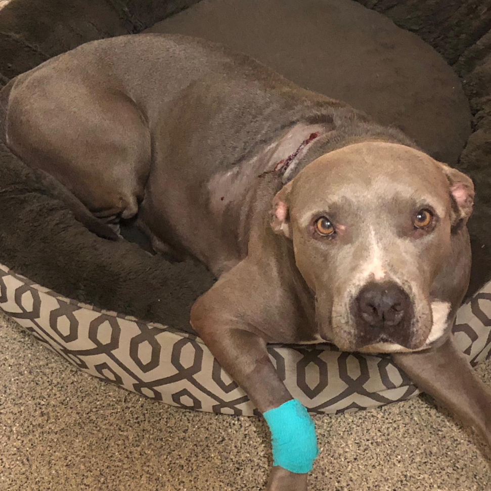 Pit bull survives shooting in Lehigh Acres, swims to safety