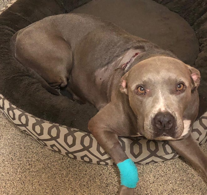 A gray pit bull was injured Wednesday after a man shot her in Lehigh Acres, authorities said.